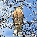 Red Shouldered Hawk In Tree by Carol Groenen