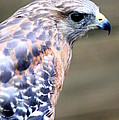 Red Shouldered Hawk by Kay Mathews