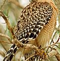 Red Shouldered Hawk by Millard H. Sharp