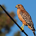 Red-shouldered Hawk On A Wire by Kathleen Bishop