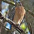 Red-shouldered Hawk On Branch by Carol Groenen