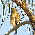 Red-shouldered Hawk On The Palm Tree by Zina Stromberg