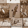 Red-shouldered Hawk Poster - Sepia by Carol Groenen