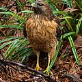 Red-shouldered Hawk by Robert L Jackson