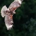 Red Shouldered Hawk by Sabrina L Ryan