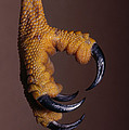 Red-shouldered Hawk Talons by Jim Zipp