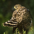 Red-shouldered Hawk Wild Texas by Dave Welling