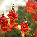 Red Snapdragons by Terry Fleckney