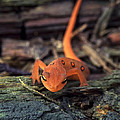 Red Spotted Newt by Richard Kitchen