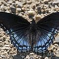 Red Spotted Purple Butterfly by Emma England