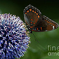 Red Spotted Purple Butterfly Gathering Nectar  by Inspired Nature Photography Fine Art Photography