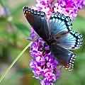 Red Spotted Purple Butterfly On Butterfly Bush by Karen Adams