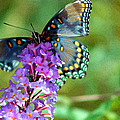 Red Spotted Purple Butterfly Photopainting by Karen Adams
