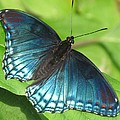 Red-spotted Purple by Eric Noa