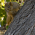 Red Squirrel    #1736 by J L Woody Wooden