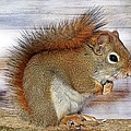 Red Squirrel by FL collection