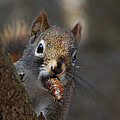 Red Squirrel by Jaron Wood