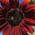 Red Sun Honey by Scott Campbell