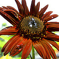 Red Sunflower After The Rain by Michael Mercker
