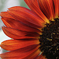 Red Sunflower Close-up by Anna Miller