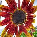 Red Sunflower by Susan Garren
