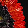 Red Sunflower Vii  by Saija  Lehtonen