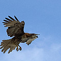 Red Tail Hawk by Bill Gallagher