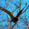 Red Tail Hawk In Flight by Peggy Franz