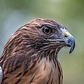 Red Tail Hawk by John Haldane