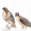 Red Tail Hawk Pair On White Background by Randall Nyhof