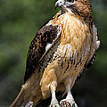 Red Tail Hawk Portrait by Dale Kincaid
