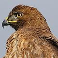 Red Tail Hawk Portrait by Paul Marto