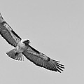 Red Tail Monochrome  by Lee Bertrand