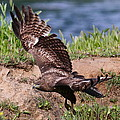 Red Tail On The Hunt by Paul Marto