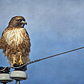 Red Tail On Watch by Priscilla Burgers
