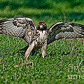 Red-tailed Hawk & Gopher Snake by Anthony Mercieca