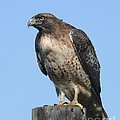 Red-tailed Hawk Monterey California  2008 by California Views Archives Mr Pat Hathaway Archives