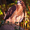 Red Tailed Hawk - 53 by Paul W Faust -  Impressions of Light