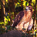 Red Tailed Hawk - 54 by Paul W Faust -  Impressions of Light