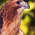 Red Tailed Hawk - 59 by Paul W Faust -  Impressions of Light