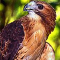 Red Tailed Hawk - 66 by Paul W Faust -  Impressions of Light