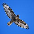 Red-tailed Hawk Arizona by Tom Vezo