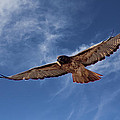 Red Tailed Hawk by Bob Hislop