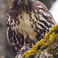 Red Tailed Hawk - Breakfast Close Up by Elaine Snyder