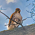 Red-tailed Hawk by C H Apperson
