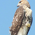 Red Tailed Hawk by Cheryl Lynne  Leech-Johnson