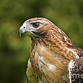 Red-tailed Hawk by David Davis