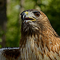 Red Tailed Hawk by Eric Albright