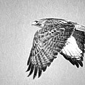 Red Tailed Hawk II by Dan Sabin