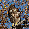 Red-tailed Hawk In A Willow Tree by Kathleen Bishop